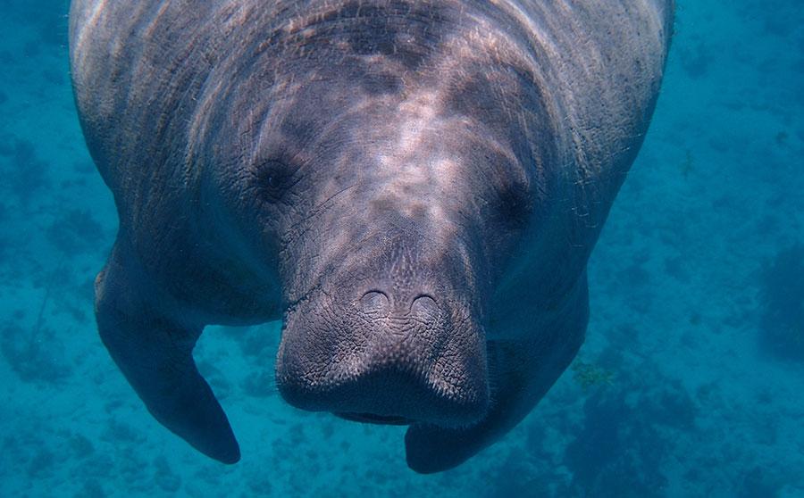 Dugong (Sea Cow)
